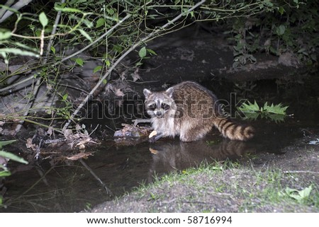 Photo of Raccoon taken at night inside Central Park in New York City, USA.