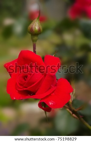 photo of red rose in the garden