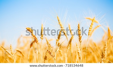 Photo of ripe wheat spikes #718534648