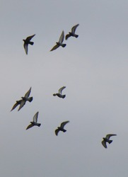 Photo of several pigeons flying in the white cloudy sky