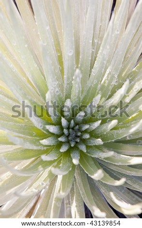 photo of silversword plant at Haleakala National Park, Maui, Hawaii, USA