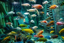 photo of small bright colorful tropical fish swimming in the aquarium