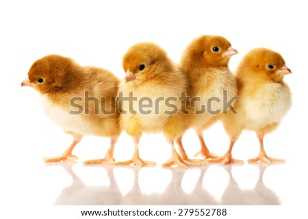 photo of small cute chickens.