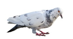 photo of standing pied dove  isolated on white background