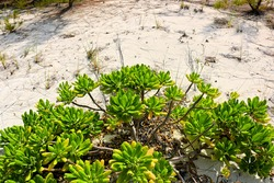 Photo of succulent shrubbery on remote island in Turks and Caicos.