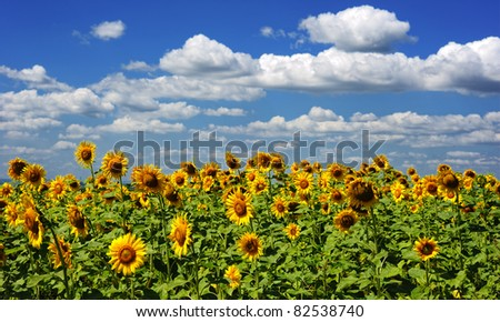 photo of sunflower field and cloudy sky