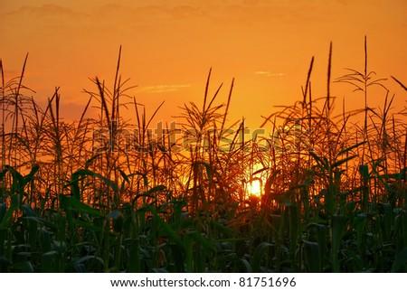 photo of sunset in cornfield