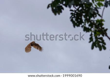 photo of the Pel's Fishing Owl in flight Foto stock ©