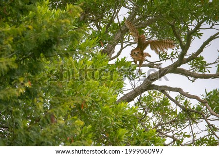 photo of the Pel's fishing owl taking off Foto stock ©