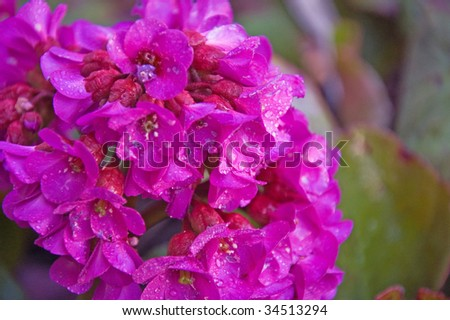 Photo of the perennial Bergenia Cordifolia or Turtle Flower with it's brillant magenta flowers.