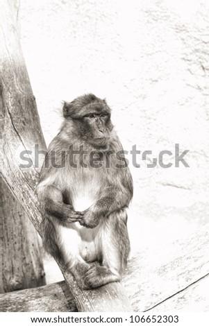 photo of the thinking monkey (monochrome)