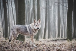 photo of the wolf taken in foggy winter forest
