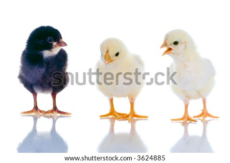 Photo of three cute baby chicks, with reflection, over white background. Studio shot.