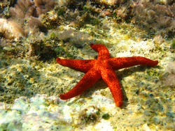 Photo of tropical red starfish found in Greek island