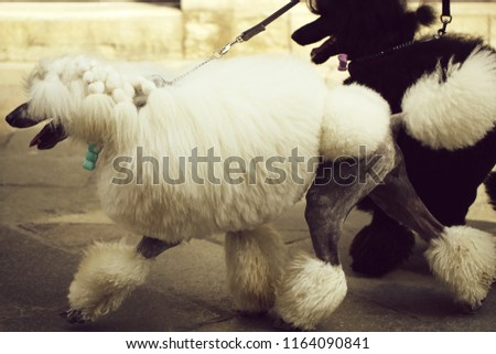 Photo of two elegant standard poodles breed dogs pets white and black coat colors continental clip walked on lead along flag-stone pavement on grey urban landscape background, horizontal picture