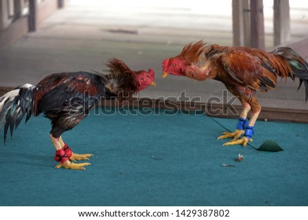 photo of two fighting roosters fighting in thailand