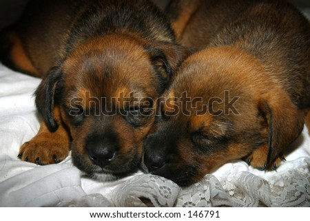 pictures of puppies sleeping. stock photo : Photo of two puppies sleeping together.
