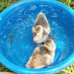 Photo of two young geese swimming in a basin.Blurred water and basin blue  background.