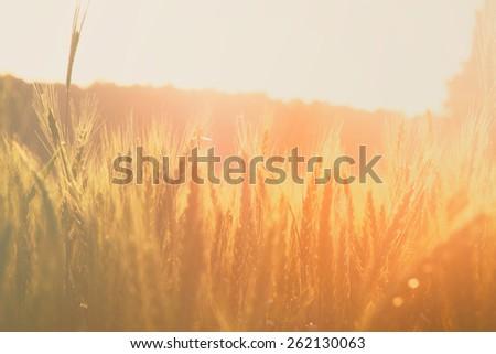 photo of wheat field at sunrise sun burst. glitter overlay