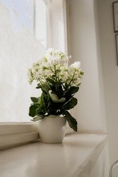 Photo of white Kalanchoe blossfeldiana - commonly cultivated house plant, also known by flaming Katy, florist kalanchoe, Madagascar widow's-thrill.  Photo taken in Pavilosta, Latvia.