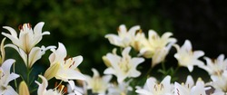 Photo of white lily flowers in the garden with green background. Summer concept. Floral background for web site, greeting card, banner, flower shop.