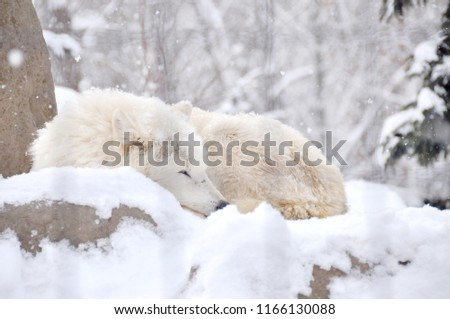 Stock Photo Photo of White wolf is sleeping in its cage on the snow in Asahiyama zoo in Sapporo, Hokkaido Japan January 2, 2018