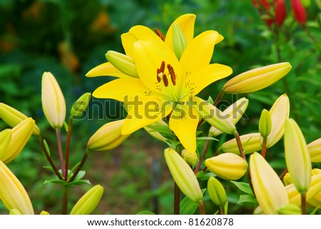 photo of yellow lily in the garden