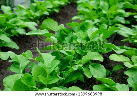 Photo of young sprouts of radish in the garden in the ground. Farm planting radish at the farmer's site. Planting vegetables in spring