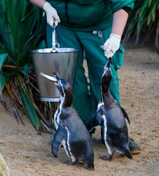 Photo of zookeeper feeding the penguins in zoo