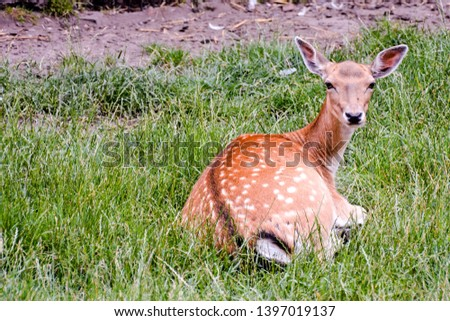 Photo PIcture of a Cute spotted fallow deer