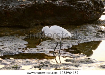 Photo Picture of a male Egret bird
