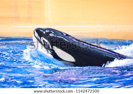 photo picture of a mammal orca...
