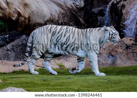 Photo Picture of a Rare White Striped Wild Tiger