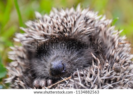 Photo Picture of an European Hedgehog Mammal Animal - Shutterstock ID 1134882563