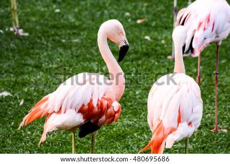 Photo Picture of Pink Animal Bird Wild Flamingo