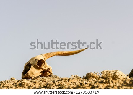 Photo Picture of the Dry Goat Skull Bone