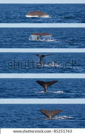 Photo series showing tail of diving sperm whale (Physeter macrocephalus), Sao Miguel, Azores.