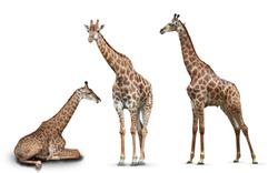 photo set giraffes isolated on white background