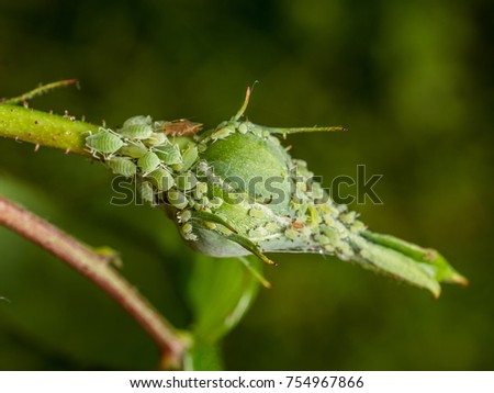 photo shows a closeup of a colony of aphids sucking on a rosebud