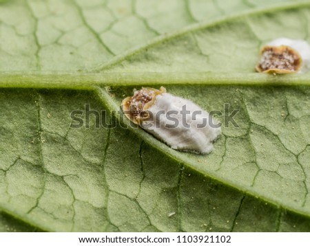 photo shows a closeup situation of hydrangea scale insect sucking on a leaf