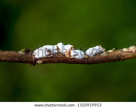 photo shows a group of cottony hydrangea scale insects sucking on a young branch and producing honeydew