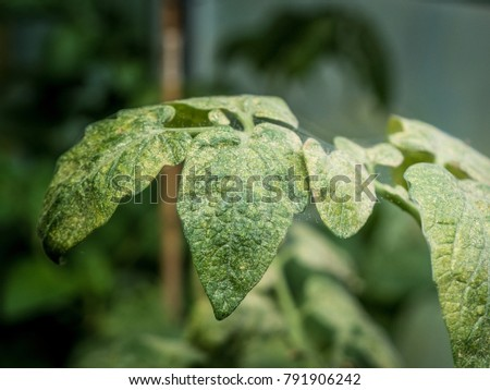 photo shows a spider mites colonie invading tomato plants #791906242