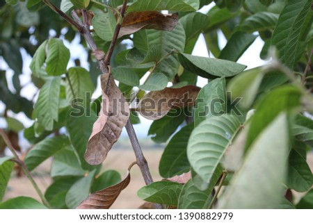 Photo shows brown, dried leaves of the guava (Psidium guajava). The dry and hot summer months are drying out plants and fruit trees.