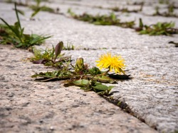 photo shows some weeds growing on a courtyard (dandelion and grass)
