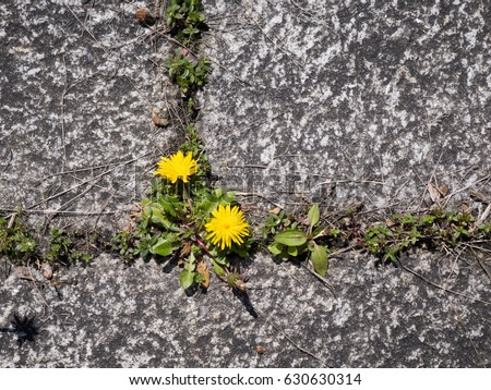 photo shows some weeds growing on a courtyard (dandelion and grass) #630630314