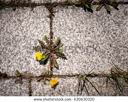 photo shows some weeds growing on a courtyard (dandelion and grass) #630630320