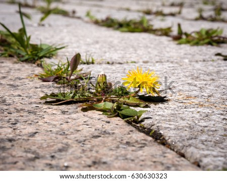photo shows some weeds growing on a courtyard (dandelion and grass) #630630323