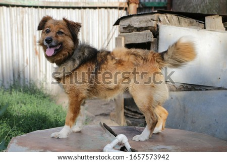 Photo taken July 31, 2017. The ginger dog is guarding the old house. Stock photo ©