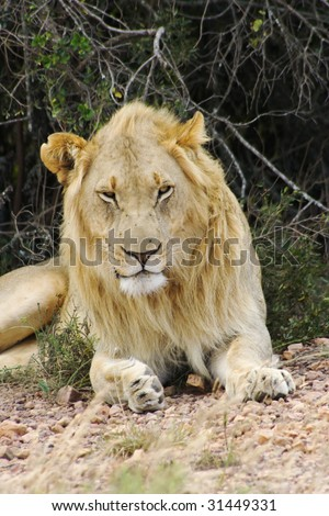 Photo taken of Lion male in Eastern Cape game reserve, Republic of South Africa.