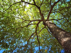 photo up to the tree top shot from below